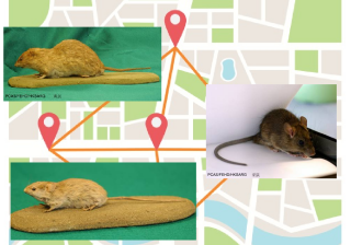Tracking device on rodents for locating their nesting places